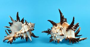 Tropical conch shells  on blue background. Stock Image