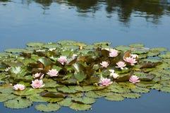 Tropical cor-de-rosa waterlily Foto de Stock Royalty Free