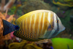 Tropical coral  fish Royalty Free Stock Photography