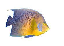 Tropical coral fish angelfish isolated stock photography