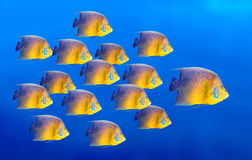 Tropical coral fish angelfish isolated Stock Image