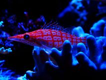 Tropical coral fish
