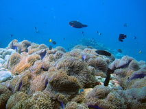 Tropical coral fish and reef. Scenic view of tropical fish swimming over coral reef in blue sea Stock Images