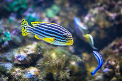 Tropical coral fishes Royalty Free Stock Image