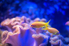 Tropical coral fishes Royalty Free Stock Photography