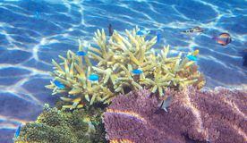 Tropical coral landscape with blue fish. Coral reef underwater. Blue and yellow fish school. stock images