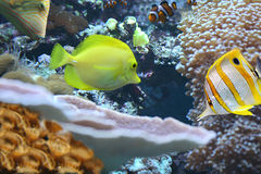 Tropical coral reef. Butterfly fishes at a coral reef. A beautiful desktop image stock images
