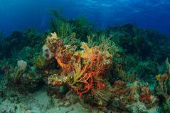 Tropical coral reef. Bright orange and yellow corals and sea sponges stand out against blue water Stock Photos