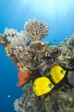Tropical coral reef fish. Stock Photos