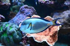 Tropical coral reef fish. In aquarium royalty free stock photo