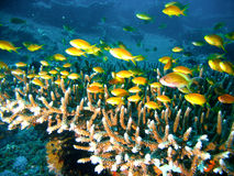 Tropical coral reef fish Stock Photography