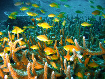 Free Tropical Coral Reef Fish Royalty Free Stock Image - 4494226