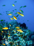 Tropical coral reef fish Royalty Free Stock Image