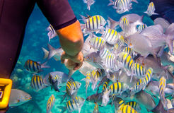 Tropical Coral Reef.Man feeds the tropical fish. Royalty Free Stock Photography