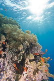 Tropical coral reef  in shallow water. Royalty Free Stock Image