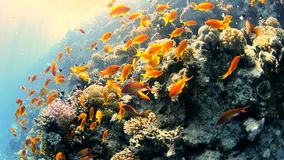 Tropical coral reef with shoals of fish stock footage