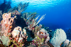 Tropical Coral Reef. Coral and sponges on a tropical reef Stock Photography