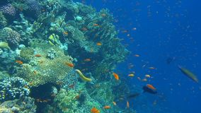 Tropical coral reef. Underwater fishes in Ras Mohamed, Sharm el Sheikh, Egypt
