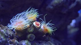 Tropical coral reef, underwater life. Anemones and soft corals, vibrant colors. Beautiful underwater clip stock video