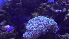 Tropical coral reef, underwater shot. Anemones and soft corals, vibrant colors. Beautiful undersea clip stock video footage