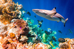 Tropical Coral Reef. Reef with a variety of hard and soft corals and tropical fish. Maldives Indian Ocean Royalty Free Stock Image