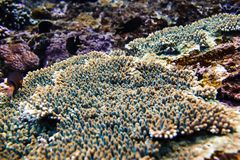 Tropical corals and reef in Bali. Diving in ocean. Tropical corals and reef in Bali. Diving in sea Stock Photo
