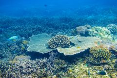 Tropical corals on reef in Indian ocean. Underwater snorkeling in sea. Tropical corals on reef in Indian ocean. Underwater snorkeling Royalty Free Stock Photos