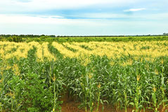 Tropical Corn Farm Royalty Free Stock Images
