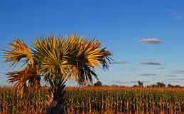 Tropical corn field. A palm tree in front of a full-grown corn field and a blue sky with some scattered clouds at late afternoon stock image