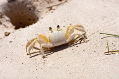 Tropical Crab Stock Photos