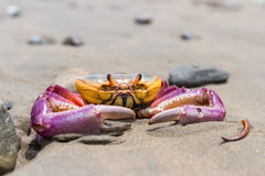 Tropical crab on the beach Royalty Free Stock Images
