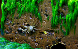 Tropical crab. On wet rock Stock Photography