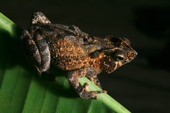 tropical crested toad rain forest amphibian night Royalty Free Stock Photo