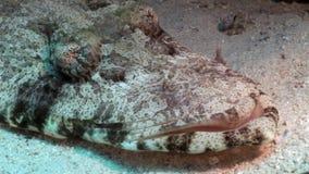 Tropical Crocodile fish underwater Red sea. Carpet flathead Papilloculiceps longiceps stock footage