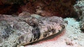 Tropical Crocodile fish underwater Red sea. Carpet flathead Papilloculiceps longiceps stock video
