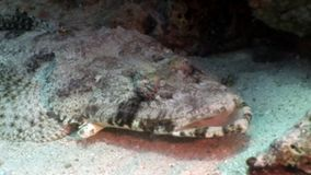 Tropical Crocodile fish underwater Red sea. Carpet flathead Papilloculiceps longiceps stock video footage