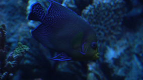 Tropical dark blue fish, close-up photography. Tropical dark blue fish among the corals, close-up photography. In the zoo in Budapest stock video footage