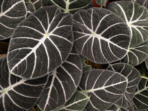 Tropical dark green leaves with white venation Alocasia Royalty Free Stock Photo