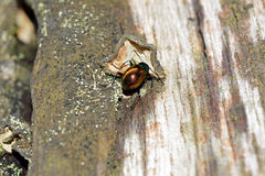 Tropical darkling beetle Royalty Free Stock Image
