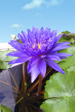Tropical Day Blooming waterlily or King of Siam Lotus Stock Images