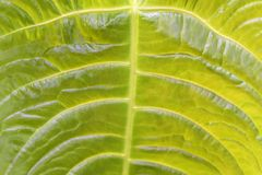 Tropical decorativ plant foliage, texture. Macro photo of fresh leaf , natural pattern, exotic botanical background. Tropical decorativ plant foliage, texture Royalty Free Stock Photo