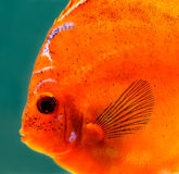 Tropical discus fish. Close up a colorful tropical discus fish Royalty Free Stock Images