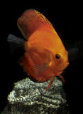 Tropical discus fish. Close up a colorful tropical discus fish Stock Photo