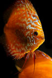 Tropical discus fish. Close up a colorful tropical discus fish Royalty Free Stock Image