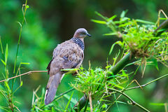Tropical dove in the wild Royalty Free Stock Photo