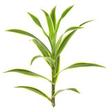 Tropical Dracaena Plant Isolated on White Stock Images
