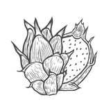 Tropical dragon fruit. Pitaya Hand drawn Sketch of tropical dragon fruit. Exotic pink pitahaya fruit with green leaves on the top. Tropical cocktail recipe Stock Photo