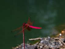 Tropical dragonfly Crimson dropwing Stock Photo