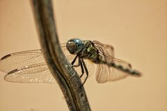 Tropical dragonfly royalty free stock image