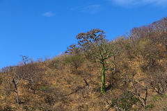 Tropical Dry Forest in Southern Ecuador Stock Photography